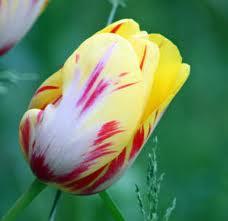tulipano